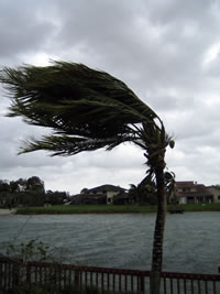 Hurricane Flooding - Palm Tree in High Wind