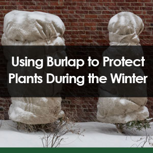 Using Burlap to Protect Plants During the Winter