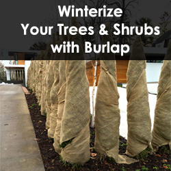 Winterize Your Trees & Shrubs with Burlap