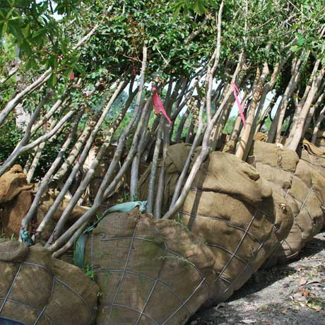 Wire Baskets & Trees – Remove the Wire Before Planting?